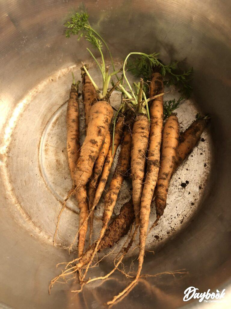 fresh picked carrots in a silver bowl
