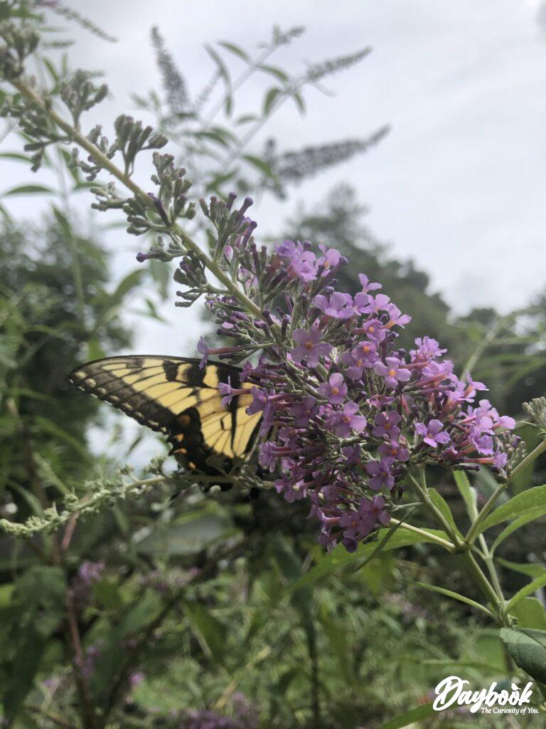 yellow butterfly on a butterfly bush bloom